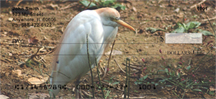 Cattle Egret Checks - Cattle Egrets Personal Checks